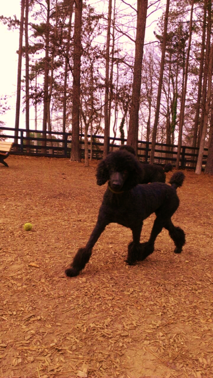 Adopted!!! Connie €� Black Standard Poodle Girl