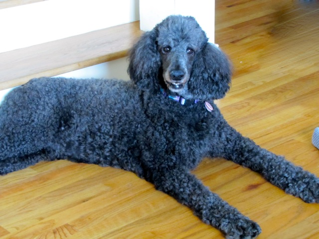 ADOPTED!!! | Georgia Poodle Rescue