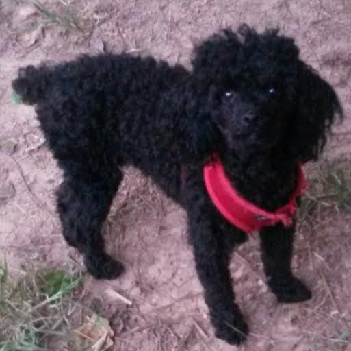 toy sale Adult poodle