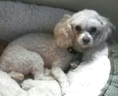 0651b68a56 Tinkerbelle is a beautiful 3 year old cream colored teacup sized toy poodle  girl! Her owner s work schedule increased and she wanted us to find  Tinkerbelle ...