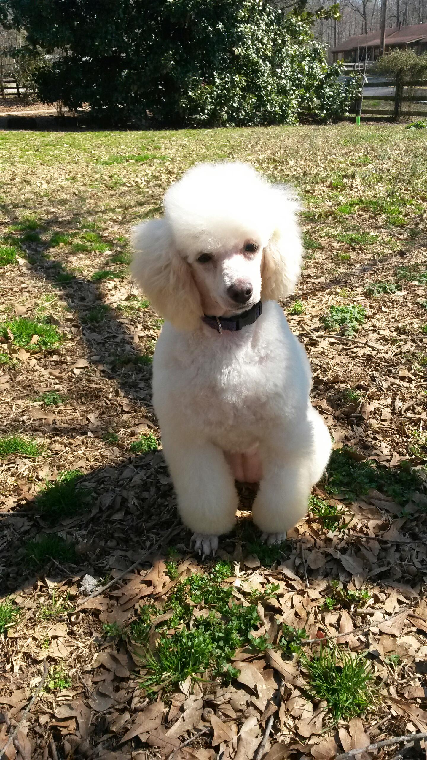 Standard poodle haircuts or of unless soft haircuts standard poodle - Vanessa White Mini Poodle Girl