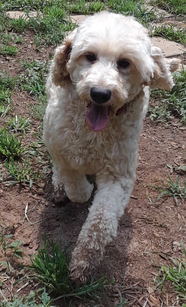 Adoptable Dogs Georgia Poodle Rescue