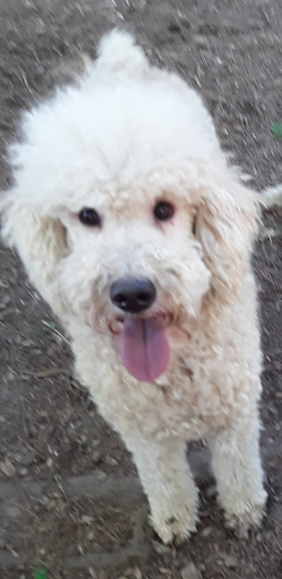 Adoptable Dogs | Georgia Poodle Rescue