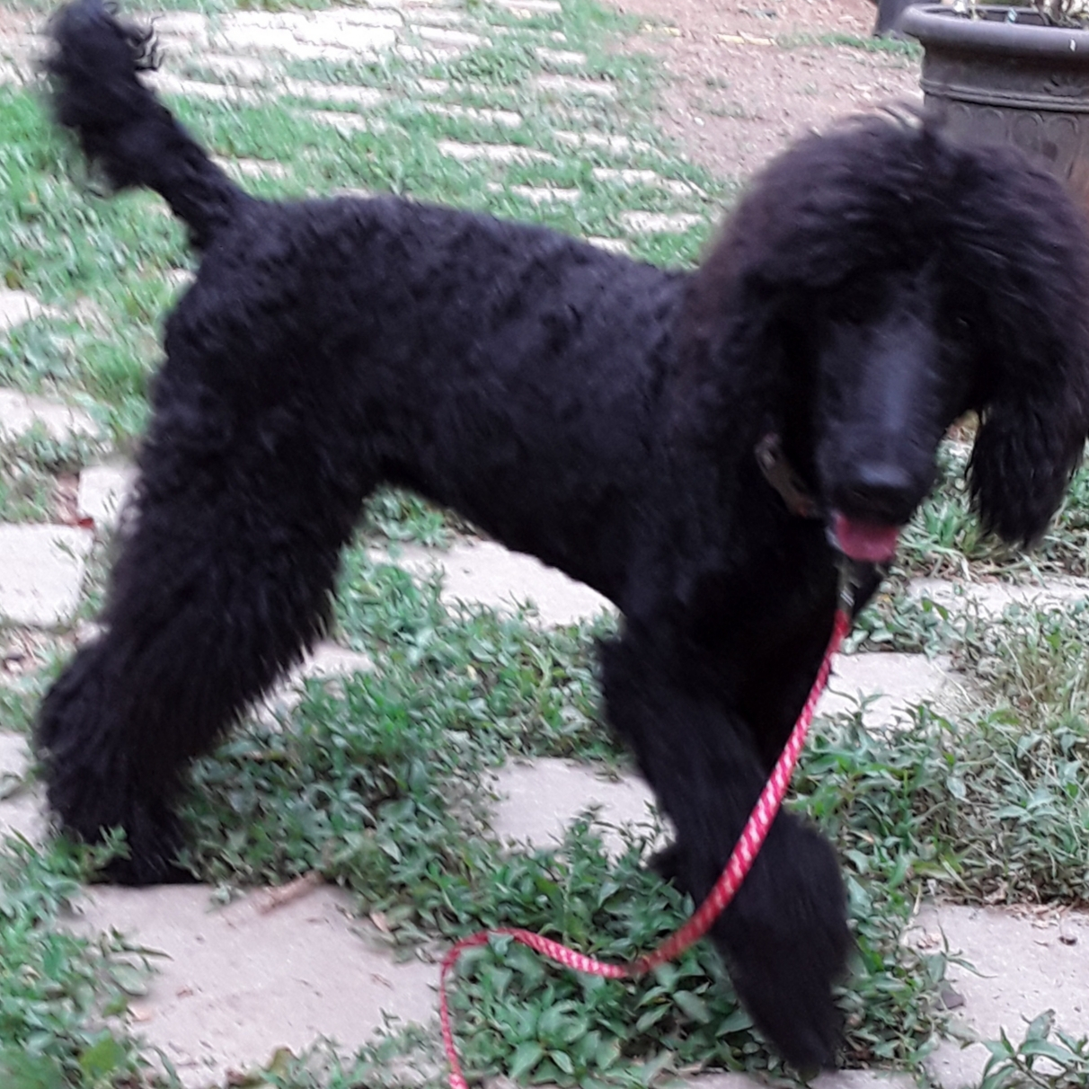 ADOPTED PAGE 2 | Georgia Poodle Rescue